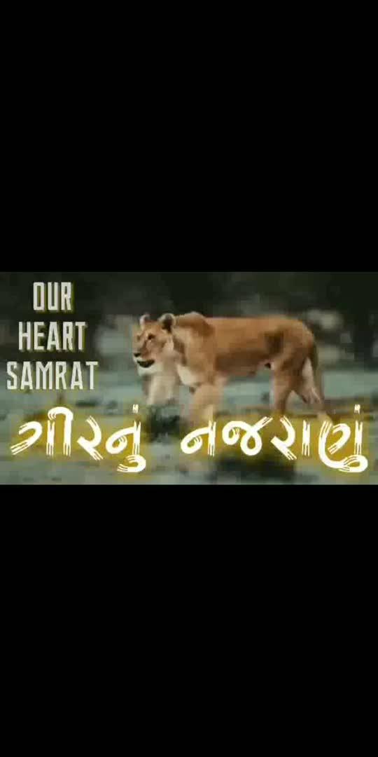 Asiatic Lioness #asia #asiaticlions #lion #king #jungle #gir #gujarat #india #hindustan #bharat #sasangir