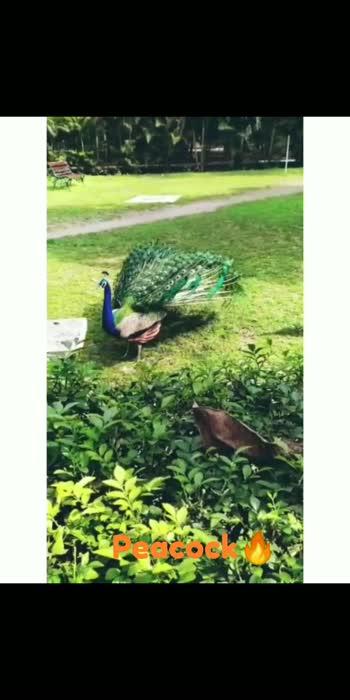 #peacockdancing