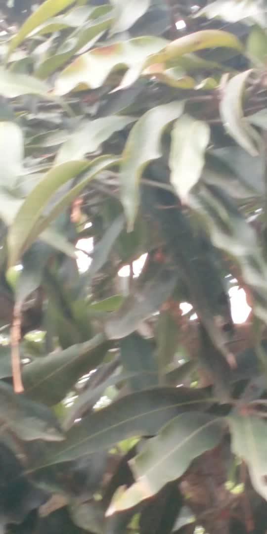 #mangoes #mangoeslover