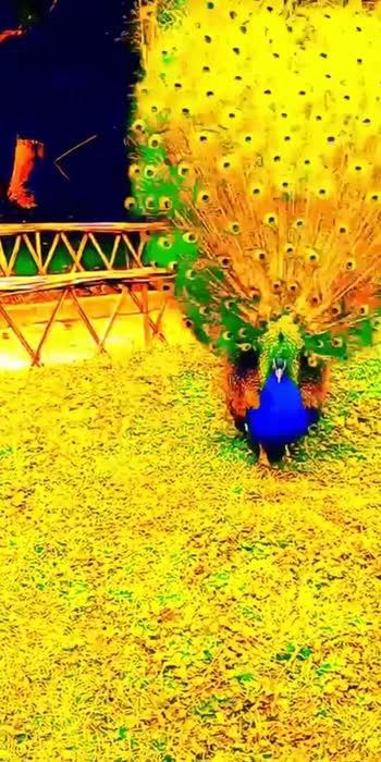#beautiful #peacockdesignpin #viralvideo