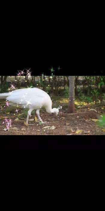 #peacockdesignpin #peacock #peacockdancing #roposo