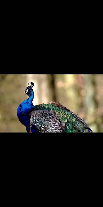 #peacock #beautiful #niceexpression