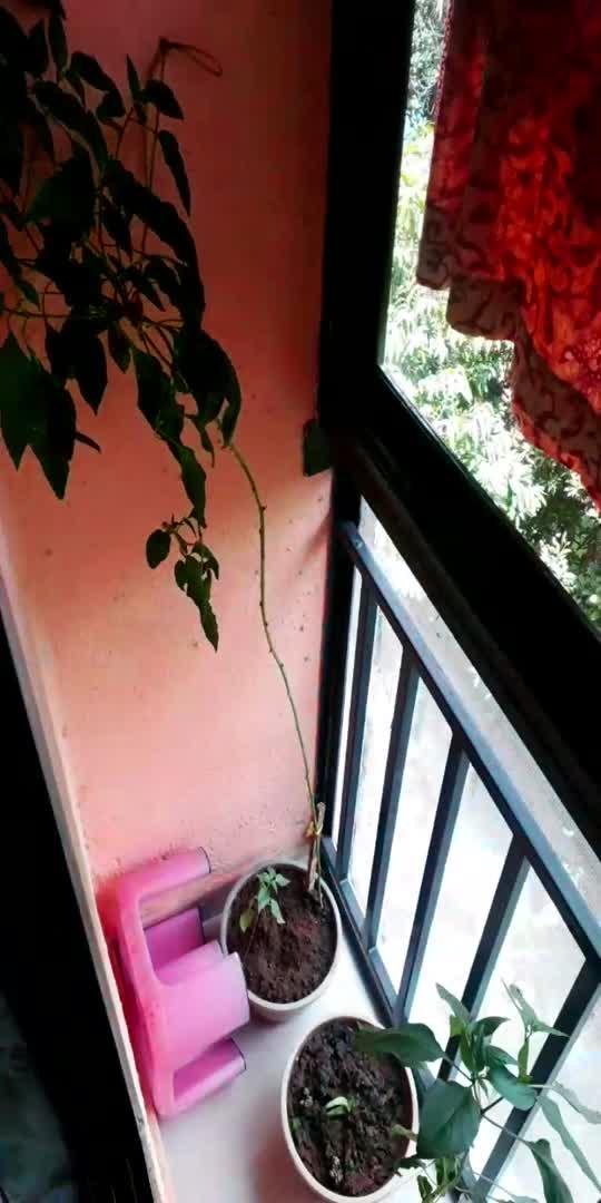 chilli plant in my balcony