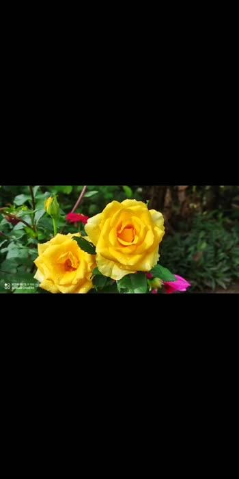 Rose.....Rose ...Rose...Azhakaana Rose Ne...