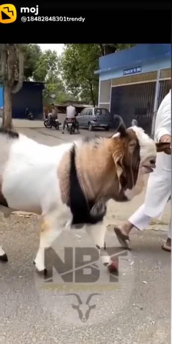 Goat  #goat