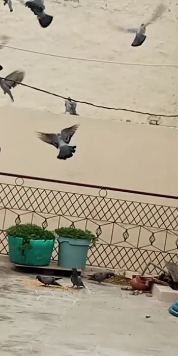 Pigeon Party #pigeon  #party