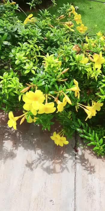 Yellow flowers# beautiful flowers 💐#flowers