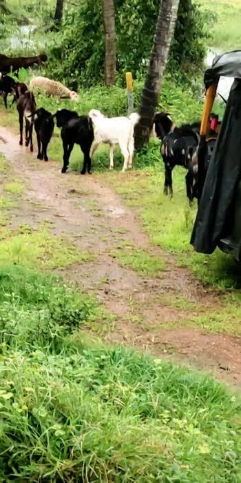lovely goat #goat #goatlover