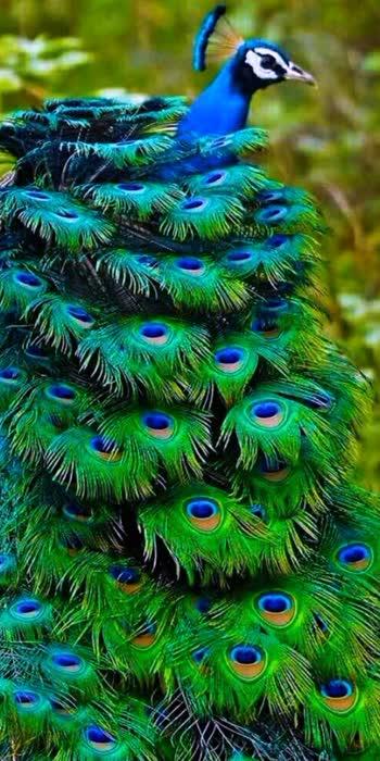 beautyfull#peacockdesignpin